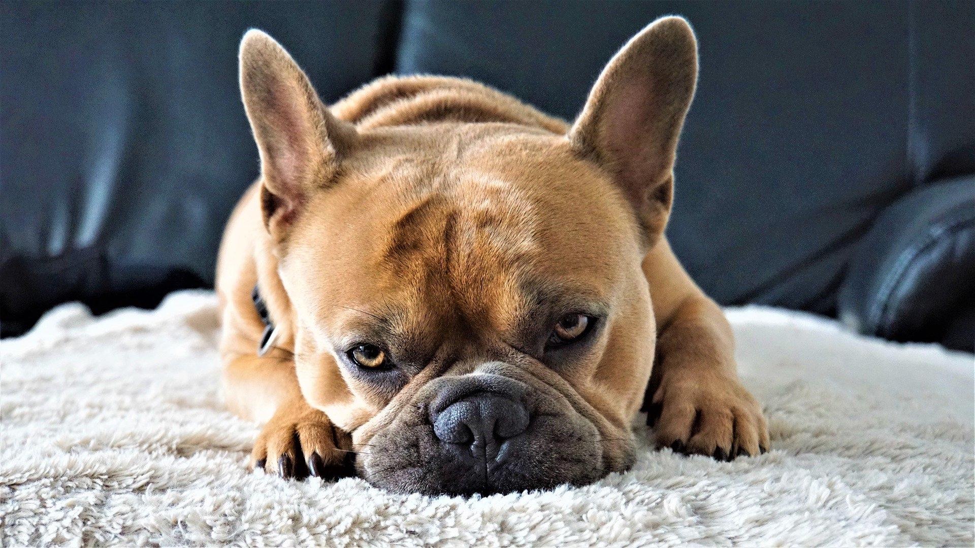 french-bulldog-4443329_1920_Mylene2401